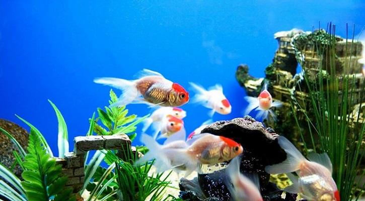 অ্যাকুরিয়ামে মাছ পালনের ইতিহাস