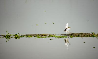Egret is searching for food