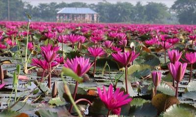 শাপলা বিল নামেই বেশি পরিচিত সাতলা বিল